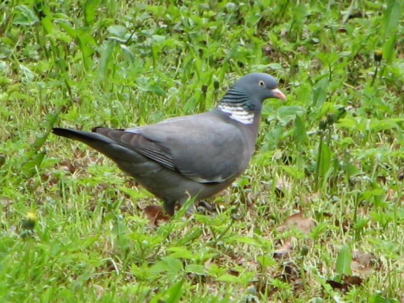 Příroda – holub hřivnáč
