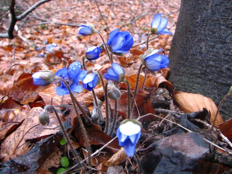Příroda – jaterník podléška