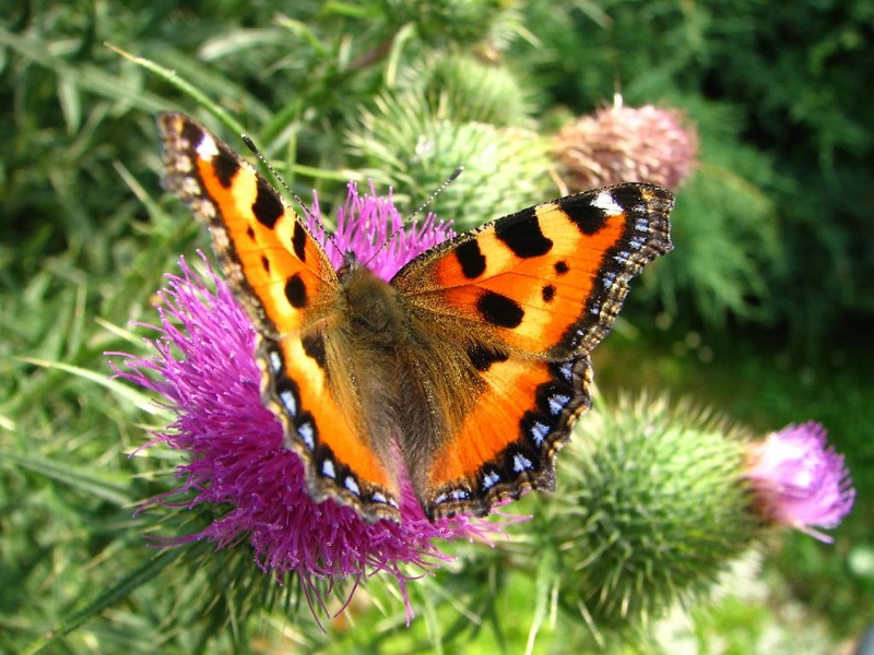 Příroda – motýl babočka