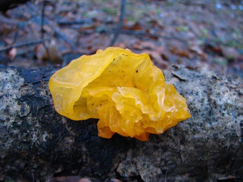 Příroda – rosolovka mozkovitá
