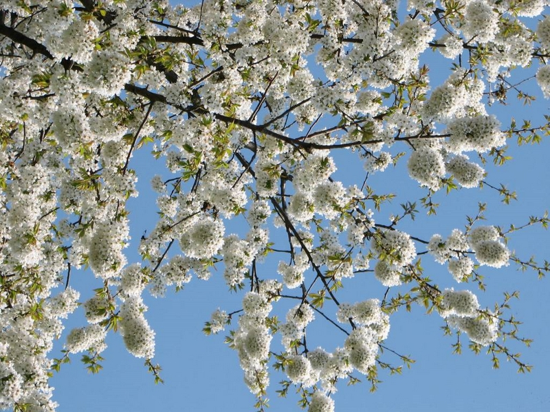 Příroda – rozvetlá třešeň u chalupy