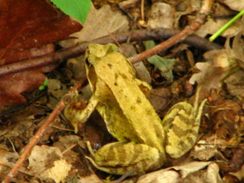 Příroda – skokan zelený