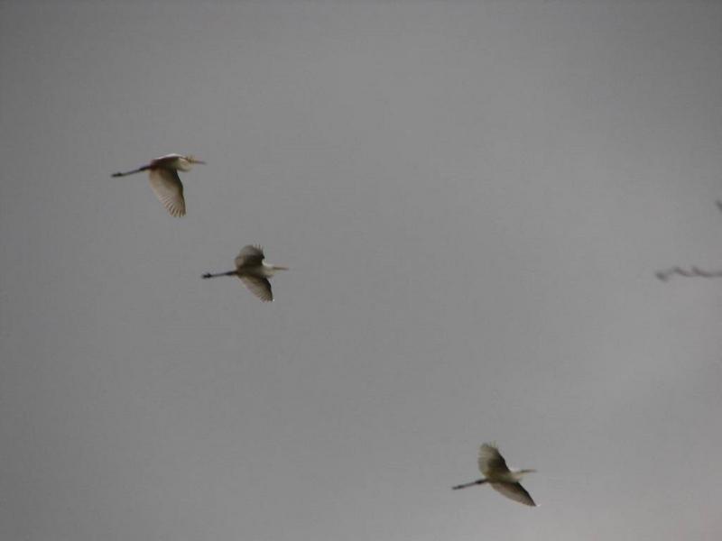 Příroda – volavky bílé