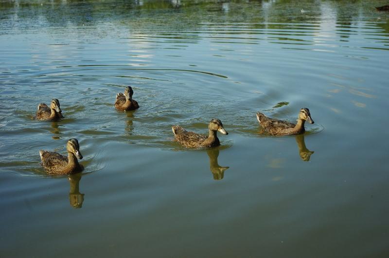Příroda – kachny na lhoťáku u Velkého Vřešťova