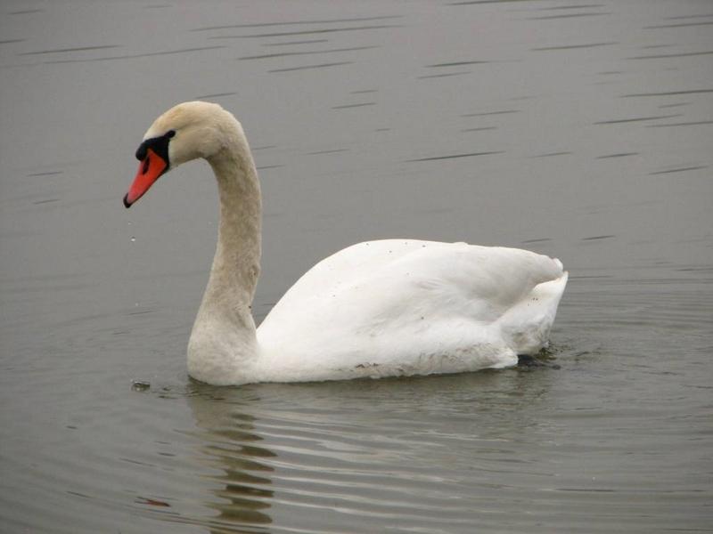 Příroda – labuť bílá
