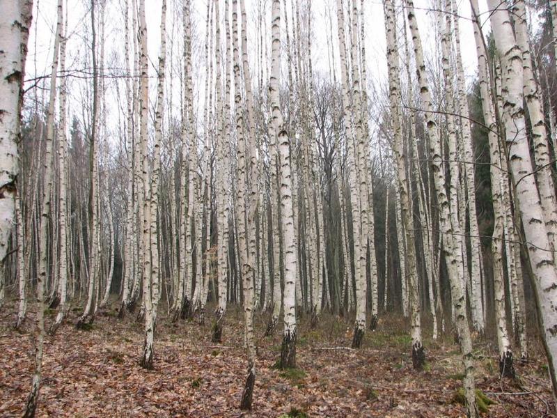Příroda – březový les