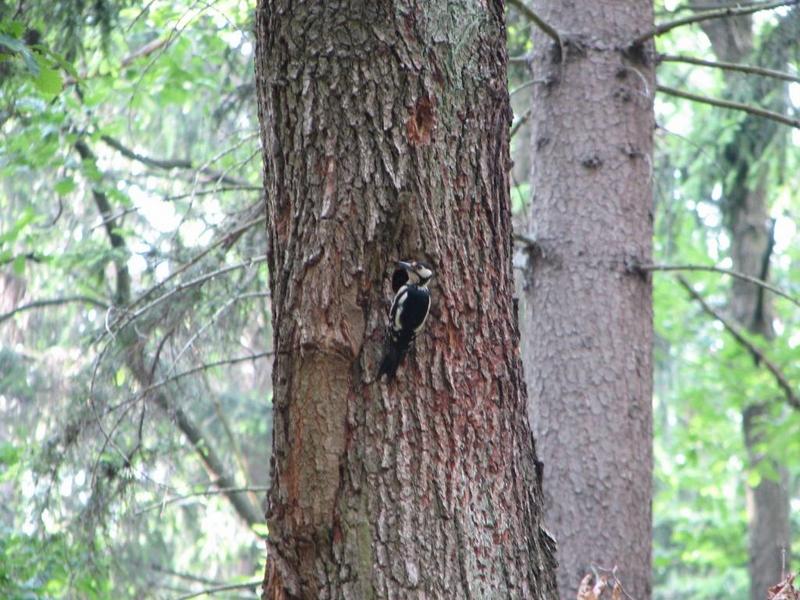 Příroda – strakapoud